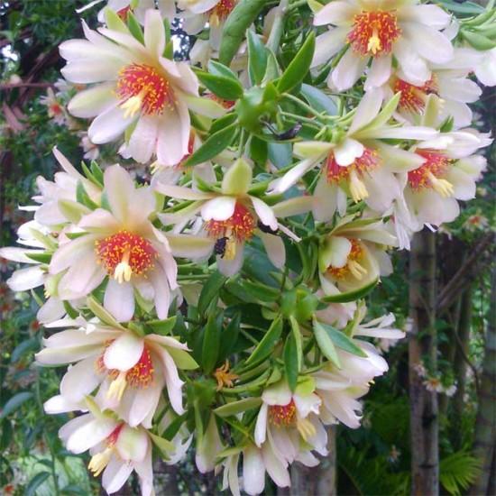 Pereskia Aculeata - 5 Seeds - Tree Cactus / Leaf Cactus