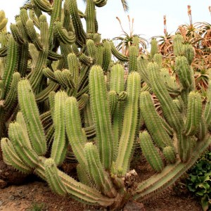 Polaskia Chichipe - 15 Seeds - Chichipe Cactus