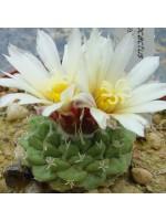 Strombocactus Disciformis sp. Disciformis - 50 Seeds - Mexican Cactus Cacti