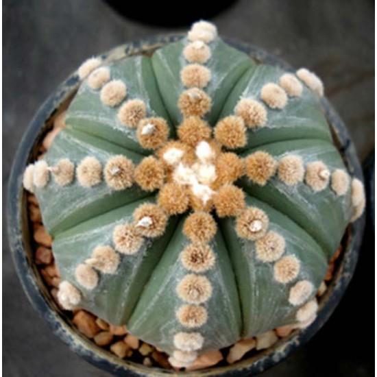 Astrophytum Asterias v Nudum - 10 Seeds - Unusual Cultivar Mexican Cacti Cactus