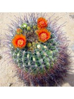 Ferocactus Wislizeni - 50 Seeds - Fishhook Candy Barrel Cactus