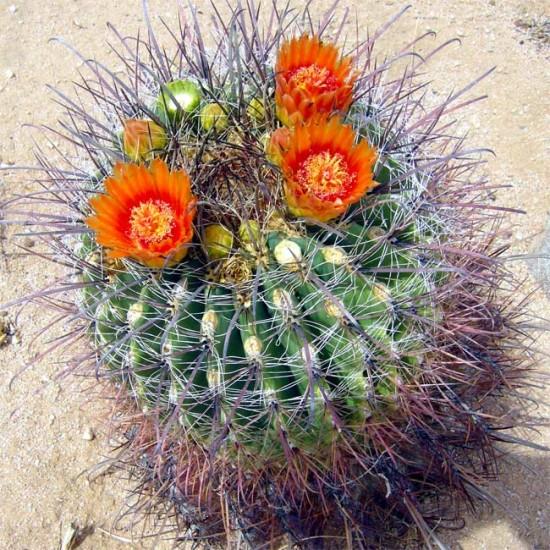 Ferocactus Wislizeni - 15 Seeds - Fishhook Candy Barrel Cactus