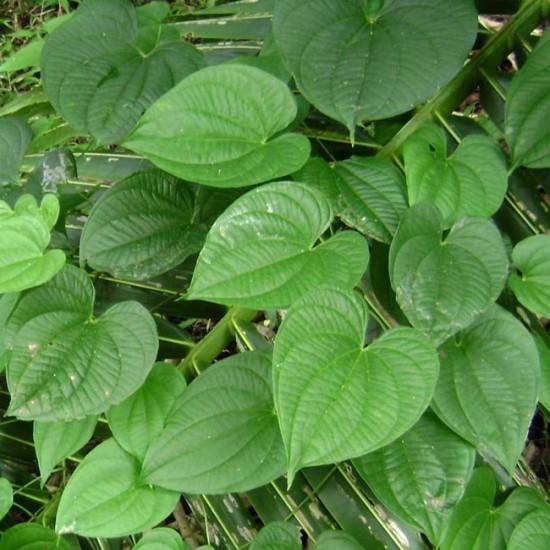 Dioscorea Alata - 10 Seeds - Purple Yam - Ube