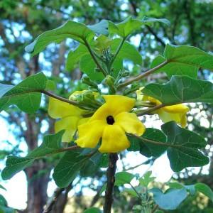 Uncarina Peltata - 5 Seeds - Pachycaul Madagascar Succulent