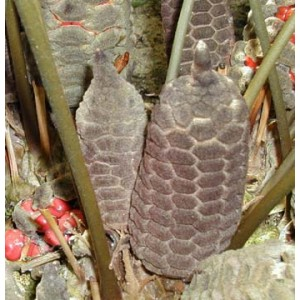 Zamia Pumila syn. Floridana Seeds - Coontie - Florida Arrowroot Palm