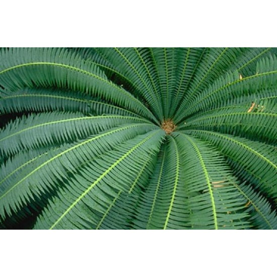 Dioon Edule - 5 Seeds - Mexican Fan Palm Cycad