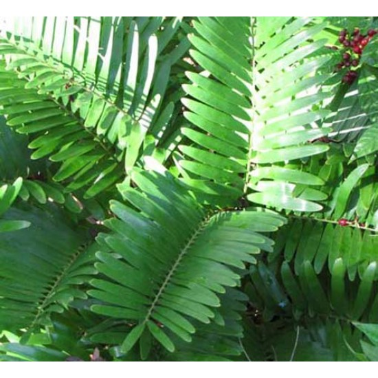 Zamia Pumila syn. Floridana Seeds - Coontie - Florida Arrowroot Palm