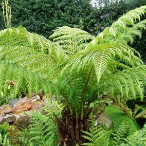 Dicksonia Antarctica - 50 Seeds / Spores - Australian Tree Fern