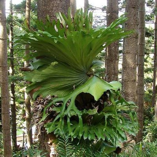 Platycerium Superbum - 100 Spores - Australian Giant Staghorn Fern