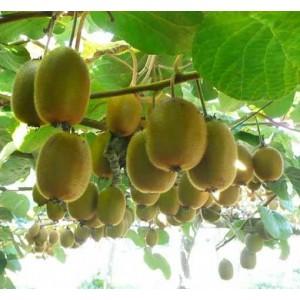 Actinidia Chinensis / Deliciosa - 250 Seeds - Kiwi Fruit