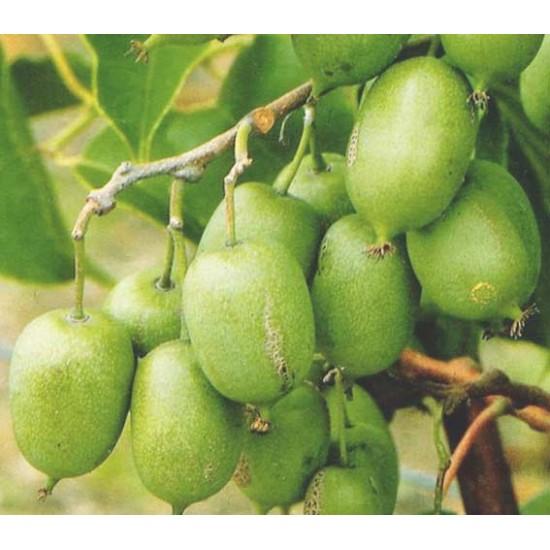 Actinidia Arguta - 50 Seeds - Tara Vine / Hardy Kiwi