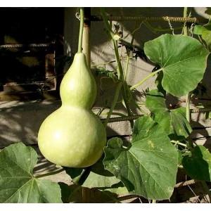 Birdhouse Bottle Gourd / Squash - 15 Seeds - Cucurbita Pepo