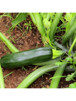 Zucchini / Courgette Black Beauty - 100 Seeds - Cucurbita Pepo