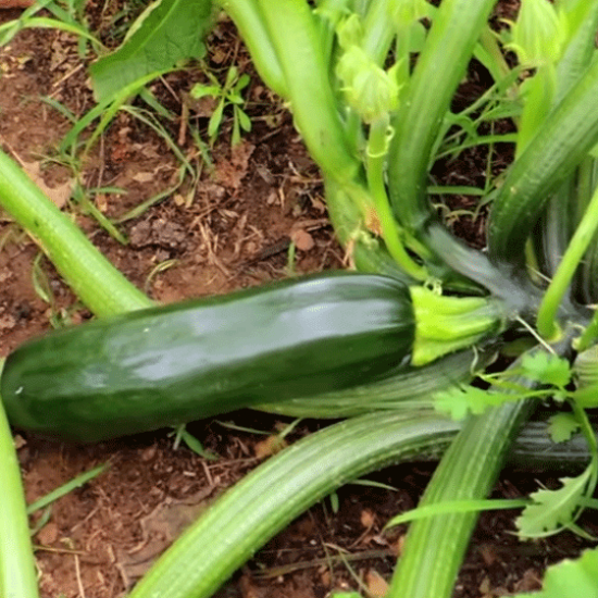 Zucchini / Courgette Black Beauty - 25 Seeds - Cucurbita Pepo