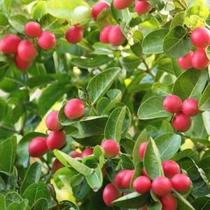 Carissa Macrocarpa - 10 Seeds - Natal Plum / Num Num