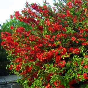 Chaenomeles Japonica - 30 Seeds - Maule's Quince / Japanese Quince