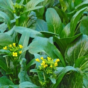 Choy Sum Fuubi - 1000 Seeds - Flowering Cabbage - Brassica Rapa v Parachinensis