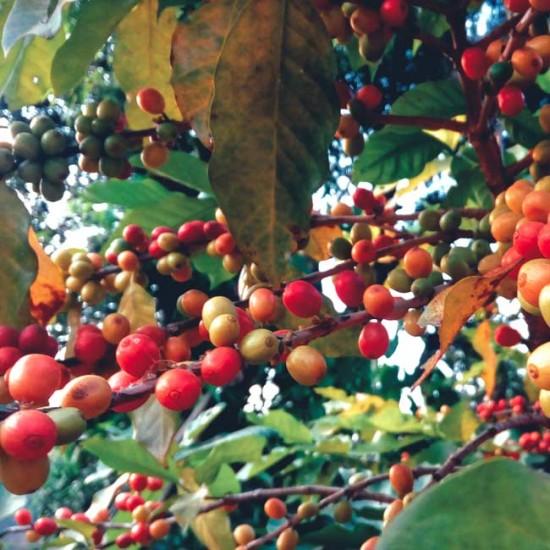 Coffea Arabica 'Himalaya'- 10 Seeds - Himalayan Coffee Bean Plant
