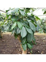 Coffea Arabica - 50 Seeds - Coffee Bean Plant