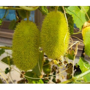 Cucumis Dipsaceus - 20 Seeds - Hedgehog Cucumber