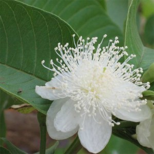 Psidium Guajava - 50 Seeds - Exotic Guava Fruit Tree Bonsai