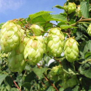 Hops Plant Humulus Lupulus - 50 Seeds - The Brewing beer plant!