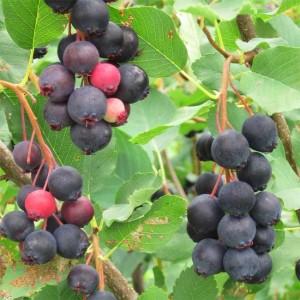 Amelanchier Alnifolia Smokey - 30 Seeds - Juneberry