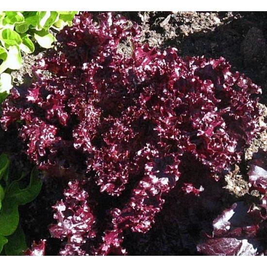 Lettuce - Lollo Rossa Dark - 2000 Seeds - Lactuca sativa