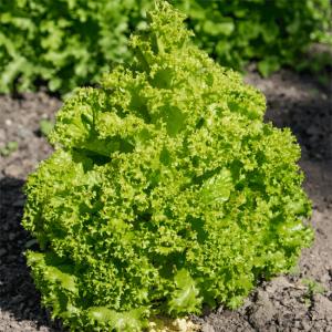 Lettuce - Lollo Bionda - 2000 Seeds - Lactuca sativa