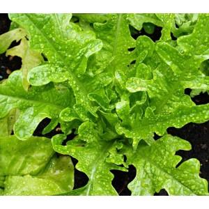 Lettuce - Emerald Green Oak Leaf - 2000 Seeds - Lactuca sativa