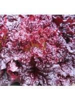 Lettuce - Red Velvet - 2000 Seeds - Lactuca sativa