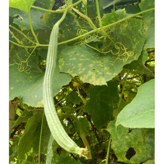 Luffa Acutangula - 10 Seeds - Ribbed Luffa
