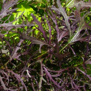 Mustard - Mizuna Red Streaks - 1000 Seeds - Salad Herb