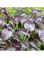 Pak Choi Purple Rain F1 - 500 Seeds - Chinese Vegetable Brassica Rapa Chinensis