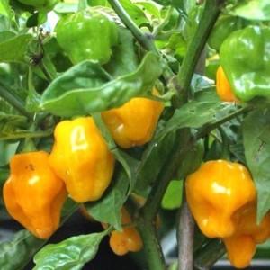 Chili Trinidad Perfum - 10 Seeds - All Flavour No Heat Habanero Capsicum Chinen