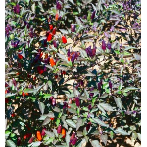 Chili Bellingrath Gardens - 50 Seeds - Pepper Capsicum annuum
