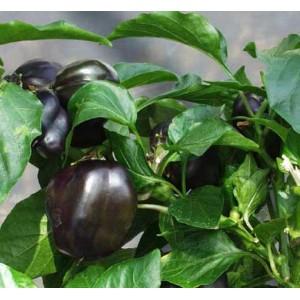 Capsicum Annuum - Sweet Pepper - Purple Beauty - 60 Seeds