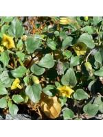 Physalis Crassifolia - 25 Seeds - Yellow Groundcherry Nightshade