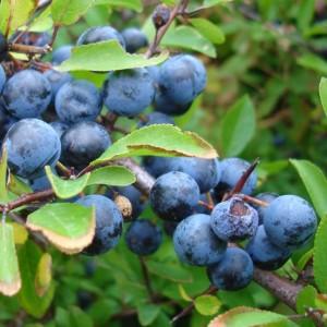 Prunus Spinosa - 30 Seeds - Blackthorn / Sloe Berry Fruit