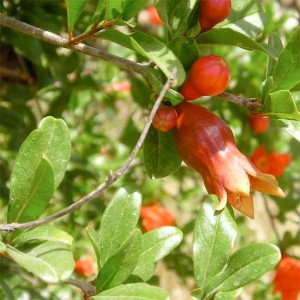 Punica Granatum 30 Seeds - Pomegranate Exotic Fruit!