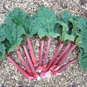 Rhubarb Victoria - 100 Seeds - Easy Grower