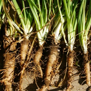 Salsify Mammoth Sandwich Island - 100 Seeds - Vegetable Oyster Plant