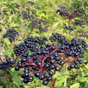 Sambucus Nigra - 50 Seeds - European Black Elderberry
