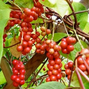 Schisandra Chinensis - 20 Seeds - Five Flavor Berry ( Wu Wei Zi )