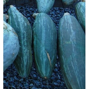 Squash - Guatemalan Blue - 10 Seeds - Cucurbita Maxima Heirloom Variety