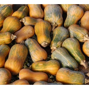 Squash Honeynut - 10 Seeds - Cucurbita moschata