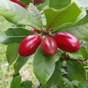 Synsepalum Dulcificum - 6 Seeds - Miracle Berry - Sour to Sweet Fruit