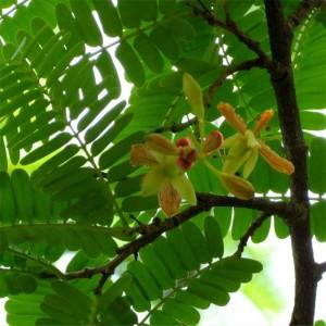 Sweet Tamarind Seeds - Tamarindus Indica cv. Srichompoo
