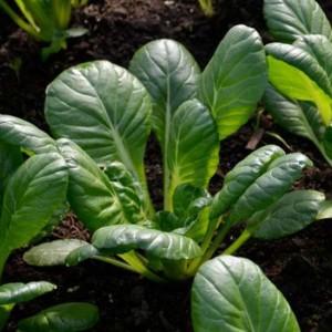 Oriental Tatsoi - 500 Seeds - Spoon Mustard - Brassica Narinosa
