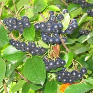 Aronia Melanocarpa - 25 Seeds - Black Chokeberry